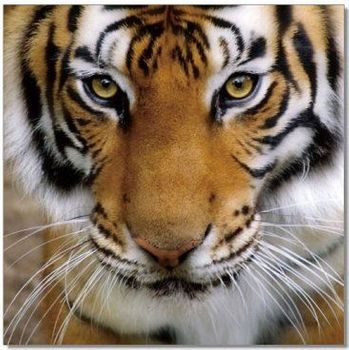Premium Acrylic Wall Art Tiger - SB-61098