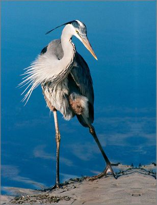 "ALAN BROWN 24X36 Secondary Market Art: ""GREAT BLUE HERON SGCNV"""