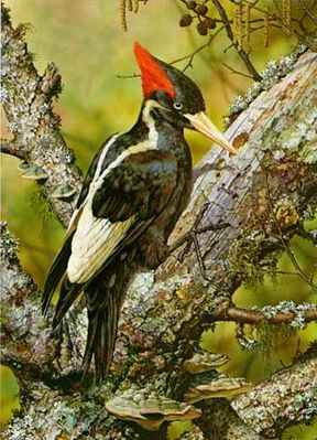 "CARL BRENDERS 21X30 Secondary Market Art: ""IVORY BILL WOODPECKER"""