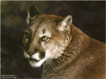 """Carl Brenders Limited Edition Print:""""Close Up - Cougar"""""""