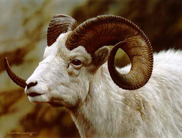 """Carl Brenders Limited Edition Print:""""Dall Sheep Portrait"""""""