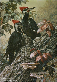 "Carl Brenders Limited Edition Print:""Forest Carpenter - Pileated Woodpeckers"""