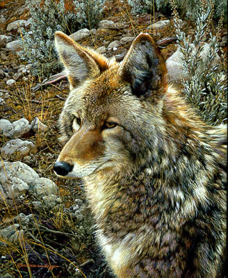 """Carl Brenders Limited Edition Print:""""Natural Survivor - Coyote"""""""
