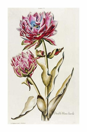 "Christoph Jakob Trew Fine Art Open Edition Giclée:""A Double White Edged Tulip"""