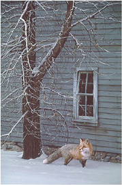 """Daniel Smith Limited Edition Print:""""Silent Footsteps-Red Fox"""""""