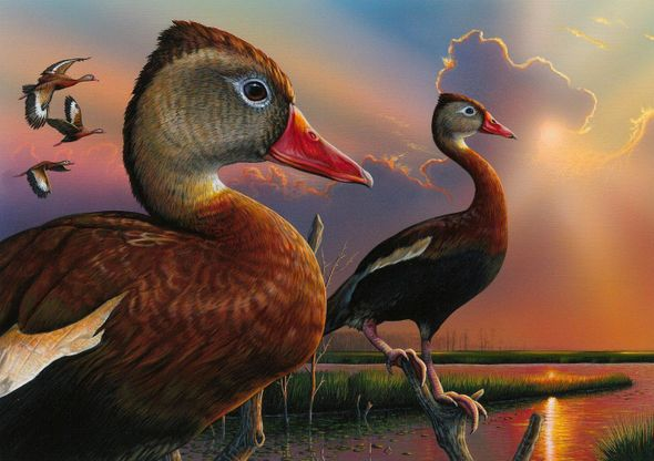 "Federal Duck Stamp Print 2020-21 Limited Edition by Eddie LeRoy:""Black-Bellied Whistling-Duck"""