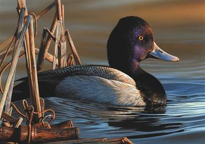"""Federal Duck Stamp Print 2021-22 Limited Edition by Richard Clifton:""""Lesser Scaup Drake"""""""