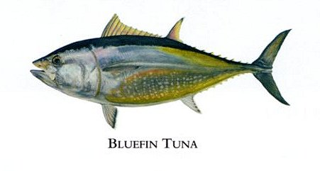 "Flick Ford Artist Handsigned Open Edition Giclee Print on Paper :""Bluefin Tuna """