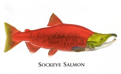 "Flick Ford Artist Handsigned Open Edition Giclee Print on Paper :""Sockeye Salmon """