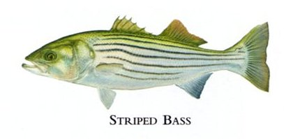 """Flick Ford Artist Handsigned Open Edition Giclee Print on Paper :""""Striped Bass"""""""
