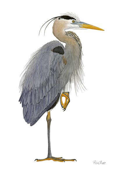 """Flick Ford Artist Signed and Numbered Limited Edition Canvas Giclee:""""Great Blue Heron"""""""