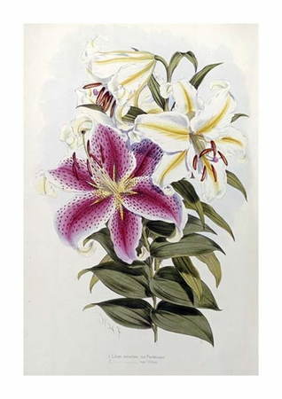 "Henry John Elwes Fine Art Open Edition Giclée:""A Monograph of the Genus Lilium"""
