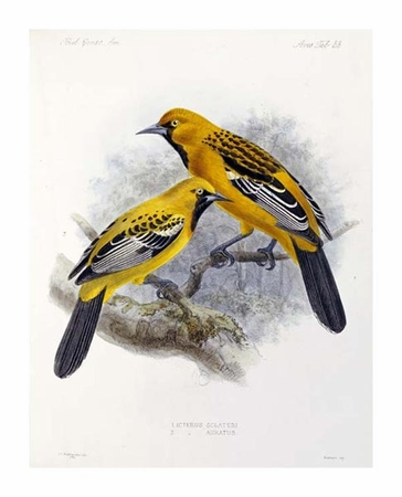 "J. G. Keulemans Fine Art Open Edition Giclée:""Ecuadorian Cacique and an Orange Oriole"""