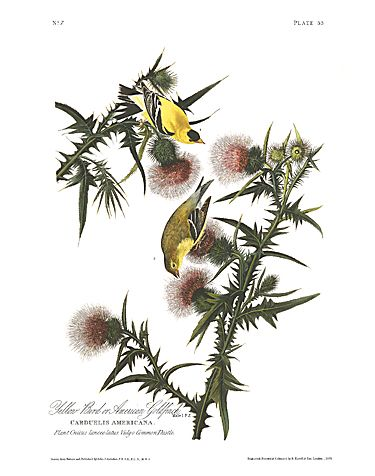 "John James Audubon Limited Centennial Edition Giclee on Paper:""American Goldfinch"""