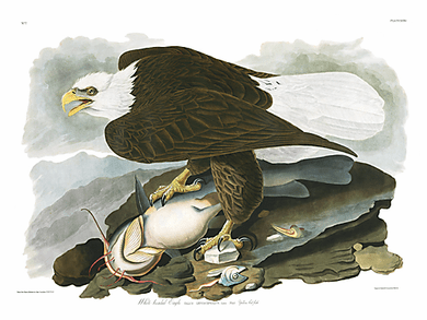 "John James Audubon Limited Centennial Edition Giclee on Paper:""Bald Eagle"""