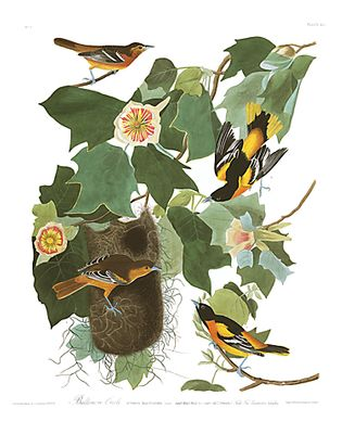 "John James Audubon Limited Centennial Edition Giclee on Paper:""Baltimore Oriole"""