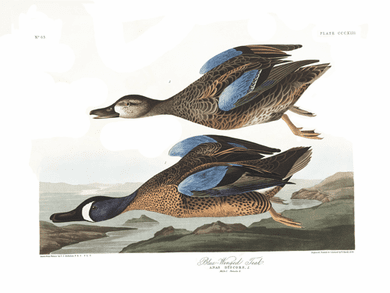 """John James Audubon Limited Centennial Edition Giclee on Paper:""""Blue-winged Teal"""""""