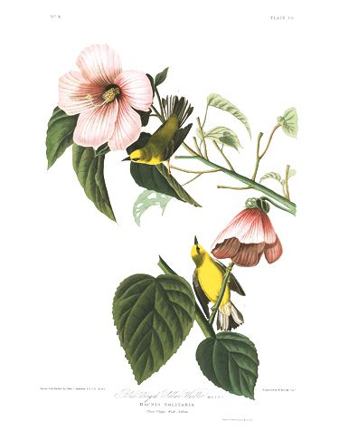 "John James Audubon Limited Centennial Edition Giclee on Paper:""Blue-winged Warbler"""
