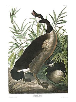 "John James Audubon Limited Centennial Edition Giclee on Paper:""Canada Goose"""