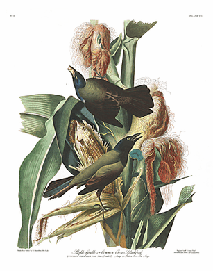 "John James Audubon Limited Centennial Edition Giclee on Paper:""Common Grackle"""