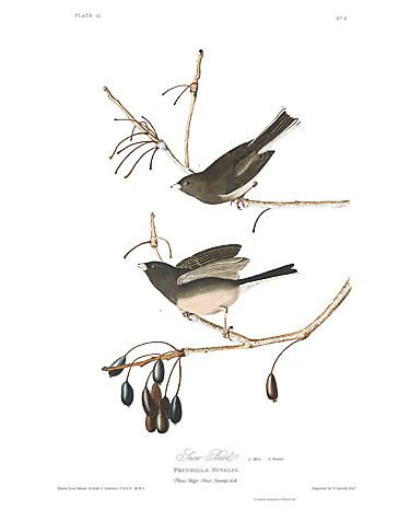 "John James Audubon Limited Centennial Edition Giclee on Paper:""Dark-eyed Junco"""