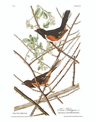 "John James Audubon Limited Centennial Edition Giclee on Paper:""Eastern Towee"""