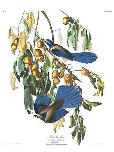 "John James Audubon Limited Centennial Edition Giclee on Paper:""Florida Scrub-Jay"""
