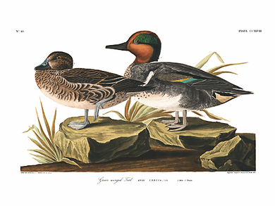 """John James Audubon Limited Centennial Edition Giclee on Paper:""""Green-winged Teal"""""""