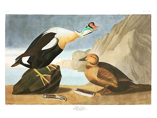 "John James Audubon Limited Centennial Edition Giclee on Paper:""King Eider"""
