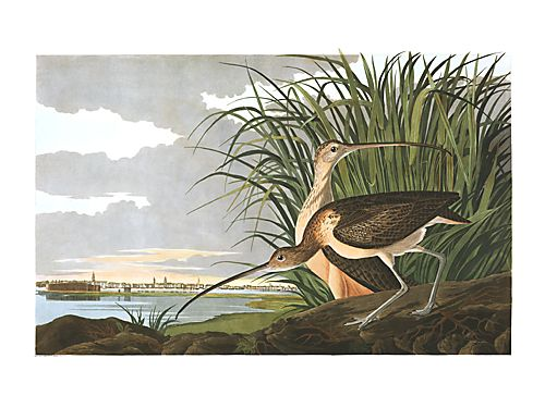 "John James Audubon Limited Centennial Edition Giclee on Paper:""Long-billed Curlew"""