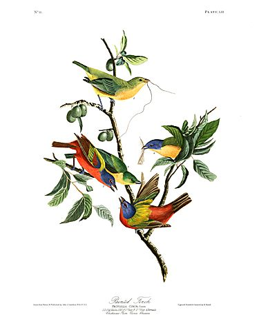 "John James Audubon Limited Centennial Edition Giclee on Paper:""Painted Bunting"""