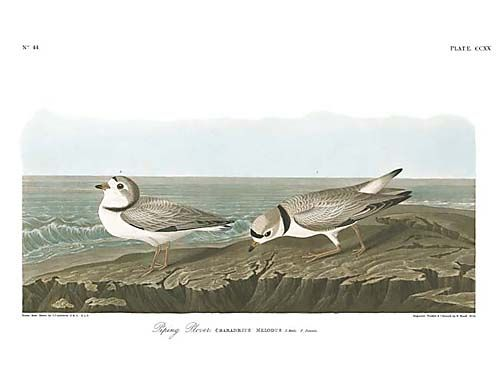"""John James Audubon Limited Centennial Edition Giclee on Paper:""""Piping Plover"""""""