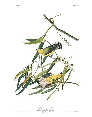 "John James Audubon Limited Centennial Edition Giclee on Paper:""Prothonotary Warbler"""