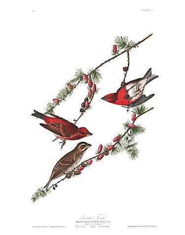 "John James Audubon Limited Centennial Edition Giclee on Paper:""Purple Finch"""