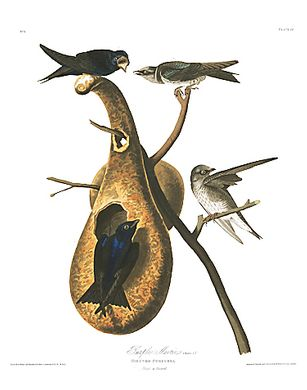 "John James Audubon Limited Centennial Edition Giclee on Paper:""Purple Martin"""
