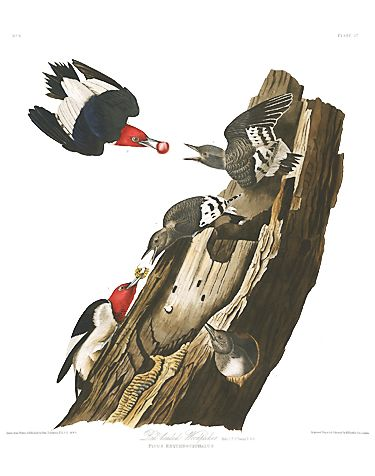 "John James Audubon Limited Centennial Edition Giclee on Paper:""Red-headed Woodpecker"""