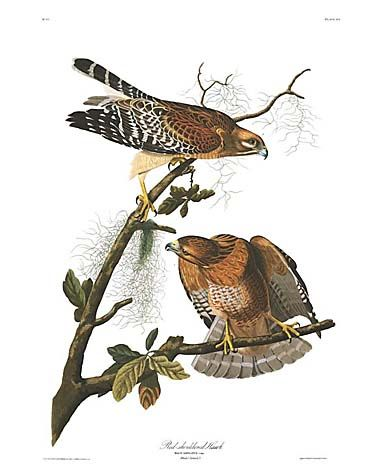"John James Audubon Limited Centennial Edition Giclee on Paper:""Red-shouldered Hawk"""