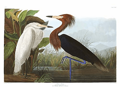 "John James Audubon Limited Centennial Edition Giclee on Paper:""Reddish Egret"""