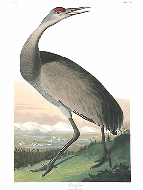 "John James Audubon Limited Centennial Edition Giclee on Paper:""Sandhill Crane"""