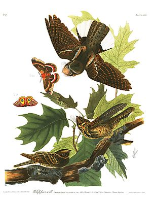 """John James Audubon Limited Centennial Edition Giclee on Paper:""""Whip-poor-will"""""""