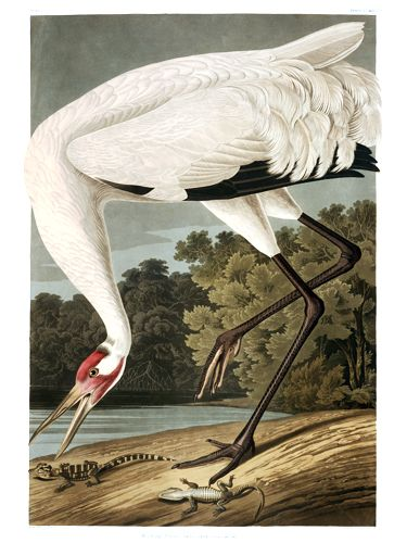"John James Audubon Limited Centennial Edition Giclee on Paper:""Whooping Crane"""