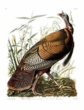 Upland Gamebirds and Marsh-dwellers