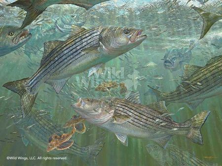"""Mark Susinno Hand Signed and Numbered Limited Edition Print: """"Atlantic Blitz – Striped Bass"""""""