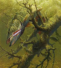 """Mark Susinno Limited Edition Print:""""Hung Up-Northern Pike"""""""