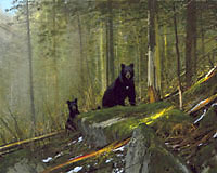 """Michael Coleman Handsigned & Numbered Giclee Limited Edition Print:""""Black Bears On The Sun River"""""""