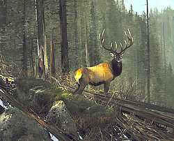 """Michael Coleman Handsigned & Numbered Giclee Limited Edition Print:""""On The North Fork- Elk"""""""