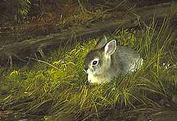 """Michael Coleman Handsigned & Numbered Giclee Limited Edition Print:""""Young Cottontail"""""""