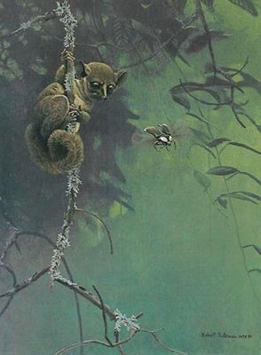 "Robert Bateman Artist Signed Limited Edition Print:""Bush Baby And Beetle"""