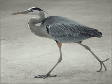 """Robert Bateman Hand Signed and Numbered Limited Edition Canvas Giclee:""""Full Stride - Great Blue Heron"""""""