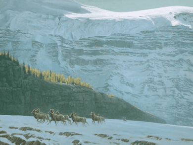 """Robert Bateman Hand Signed And Numbered Limited Edition Print and Canvas Giclee :""""Big Horn Sheep Herd"""""""